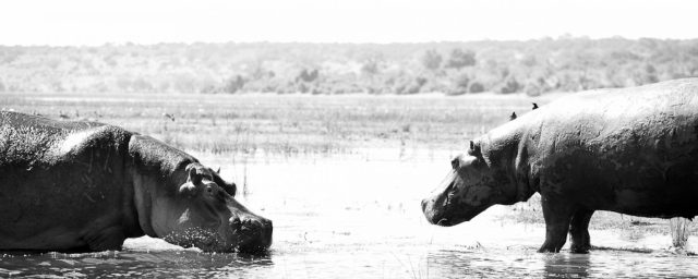 Male hippo on the left blowing bubbles to a female hippo standing in the shallows on the right.