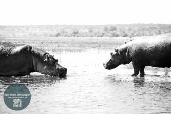 Hippo standoff www.clairewatson.co.uk